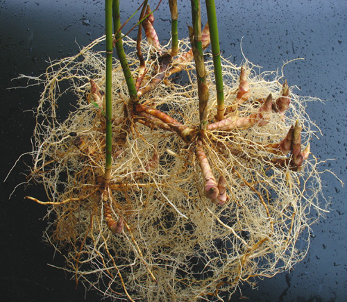 Bamboo's fibrous roots and rhizomes.
