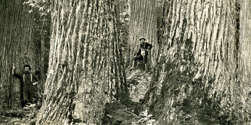 American Chestnut Trees before the blight and government intervention.