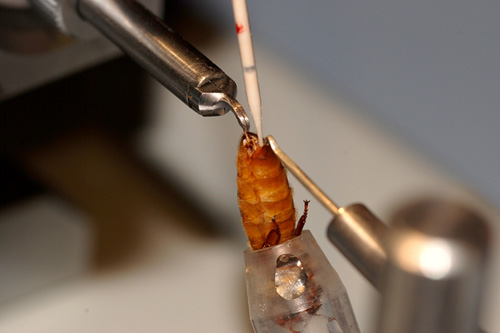 Artificial insemination of a virgin queen honeybee... not quite a natural process.