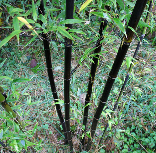Black Bamboo is a beautiful plant. Phyllostachys nigra
