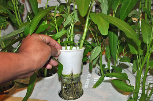 Water Spinach roots very well from cuttings.