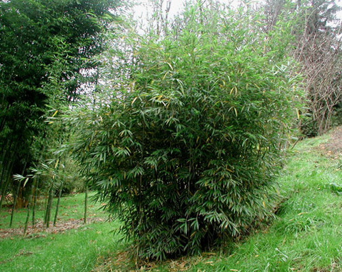 'Pitt White' Bamboo is a popular clumping ornamental. Yushania anceps 'Pitt White'