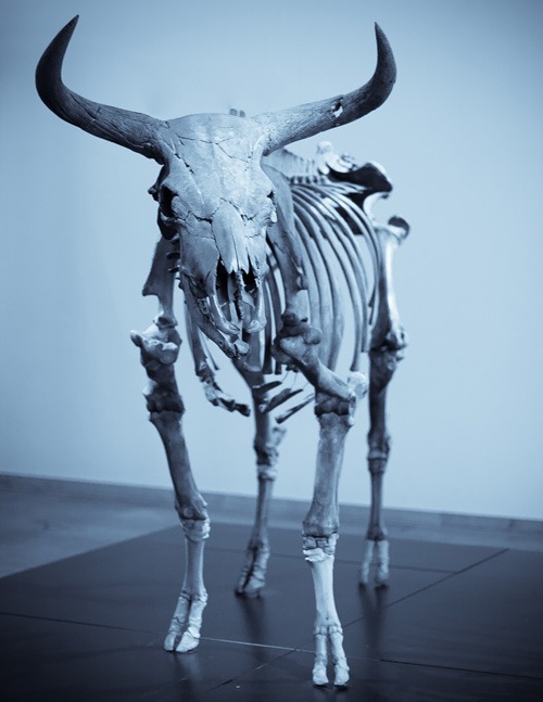 A skeleton of the extinct Aurochs, the origin of our modern beef cattle.