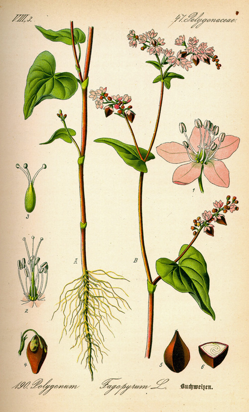 Common Buckwheat Fagopyrum eir