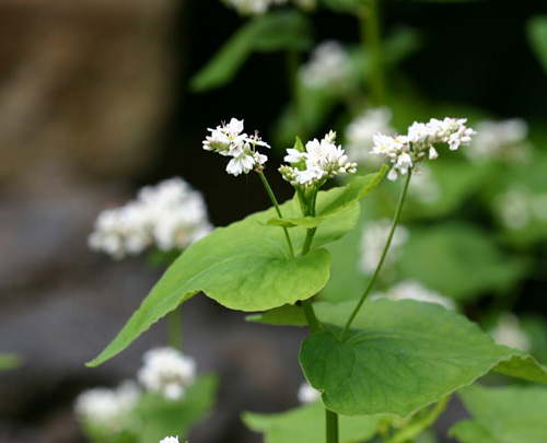 The leaves of Buckwheat are edible as well.