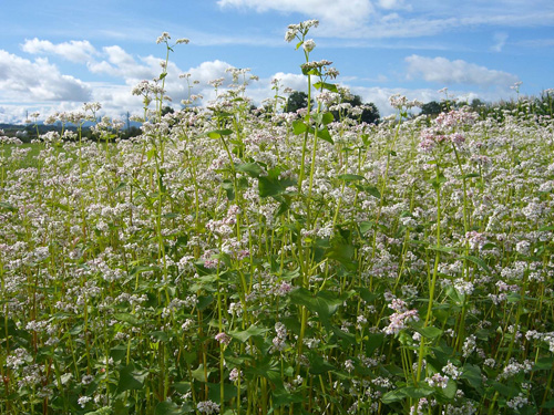 Common Buckwheat is a rather tall, fast-growing annual.