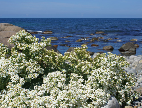 While it is naturally found on the coast, it can thrive in a garden as well.