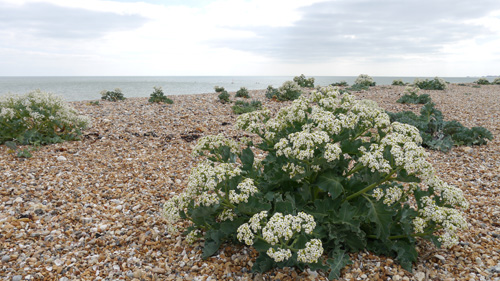 Sea Kale is a clump forming perennial.