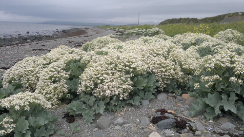 Sea Kale in a clump forming, edible perennial.