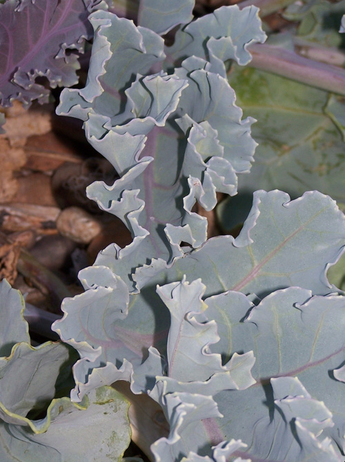 Sea Kale has edible leaves...