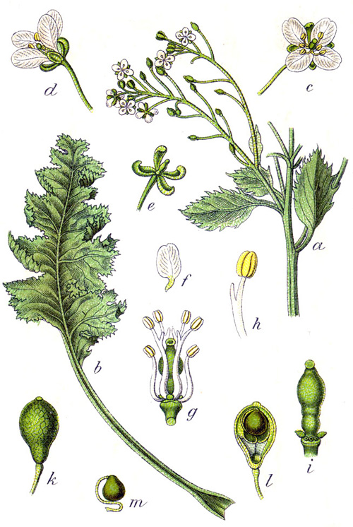 Carmbe maritima Johann Georg Sturm, 1796, from Deutschlands Flora in Abbildungen