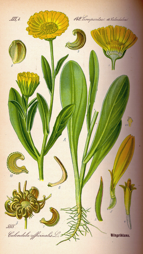 Calendula officinales