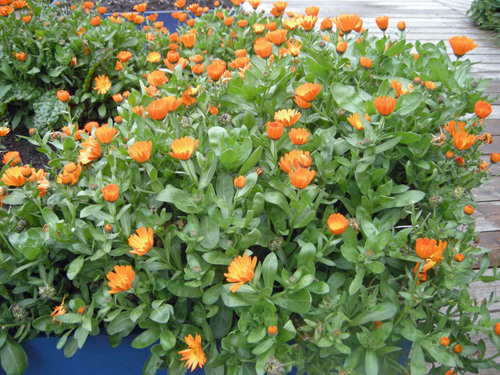 Calendula adds a splash of beauty anywhere it is planted.