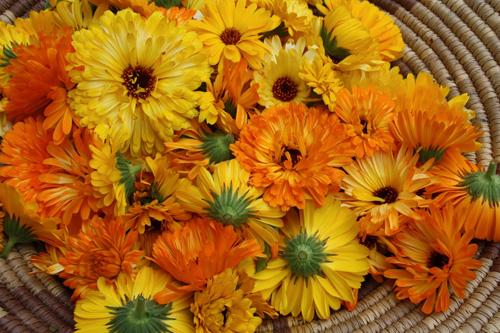 There are many varities of Calendula.