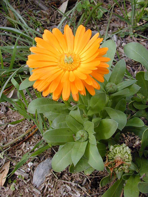 Calendula or Pot Marigold... a lovely little plant.