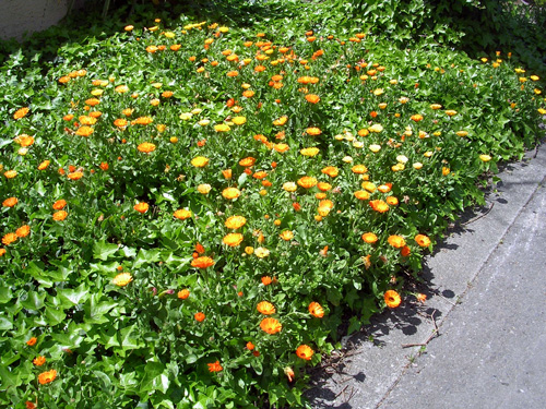 Calendula makes a pretty good groundcover.