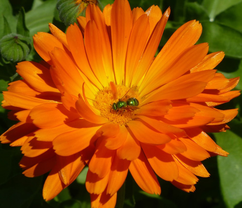 Calendula attracts beneficial insects and butterflies.