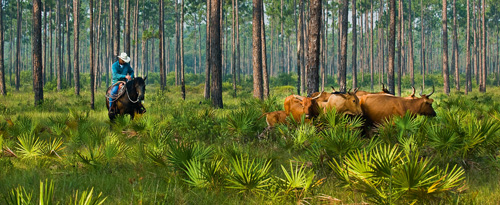 Florida Cracker cattle in the pine woods.