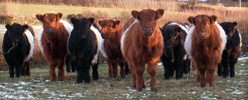 Red and Black Belted Galloway