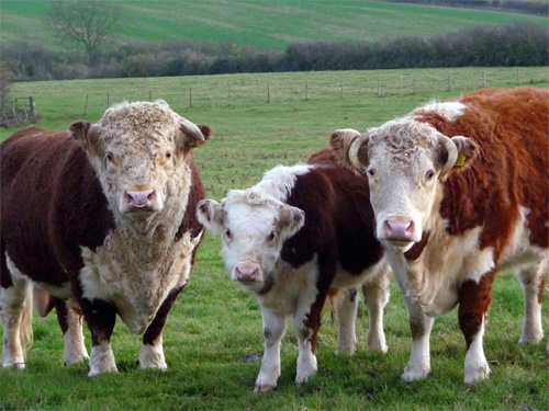 Hereford bull, cow, and calf