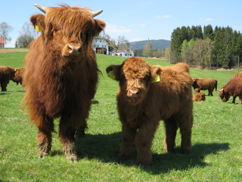 Highland cow and calf