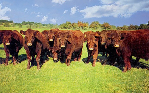 Lincoln Red cattle