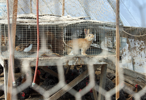 Rabbits are also kept at Polyface Farms.