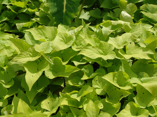 Sweet Potatoes' beautiful leaves... no wonder they are an ornamental.