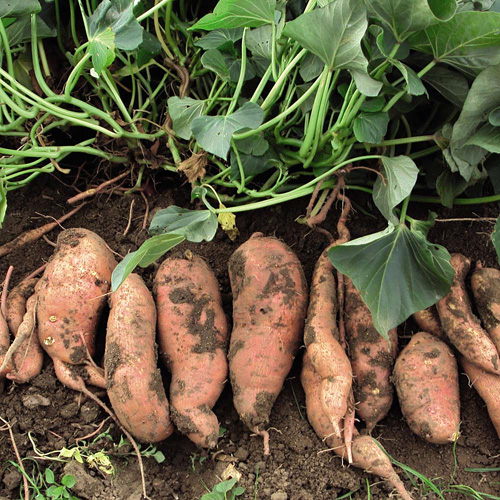 To me, harvesting Sweet Potatoes is like digging for treasure!