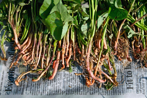 Many bare-rooted Sweet Potato plants - a common way these are sold.