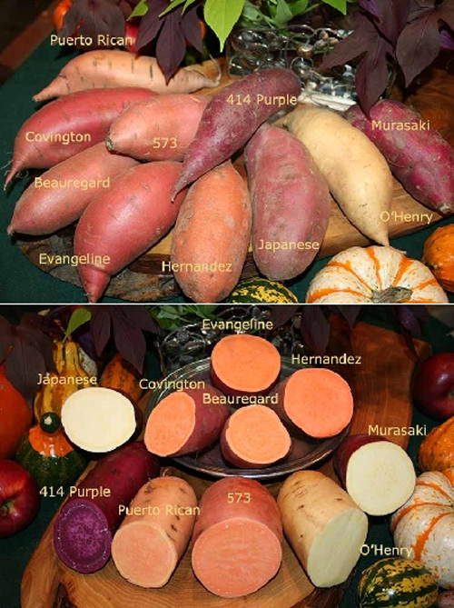 There is such a variety of Sweet Potatoes to choose from!