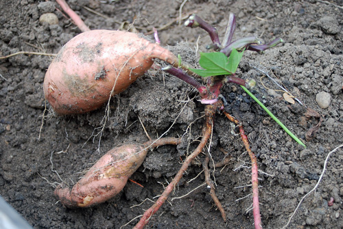 "Sweet Potatoes are consider ""root tubers""."