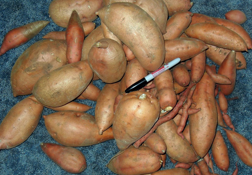 A typical harvest showing the variety of large and spindly tubers.