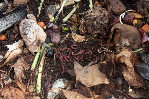 These worms process his organic matter and provide worm castings for his gardens and food for his chickens.