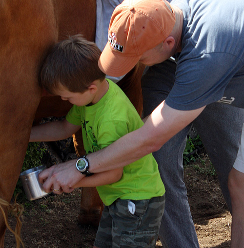 My second son milking a traditional Azorean dual purpose dairy and beef breed of cattle. Terceira Island, Azores