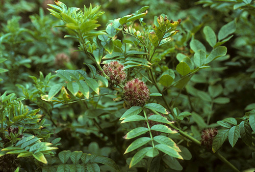Common Licorice (Glycyrrhiza glabra)