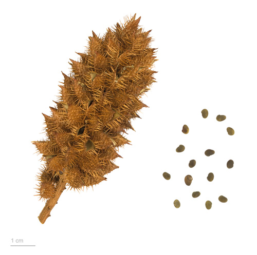 Seeds of Common Licorice (Glycyrrhiza glabra)