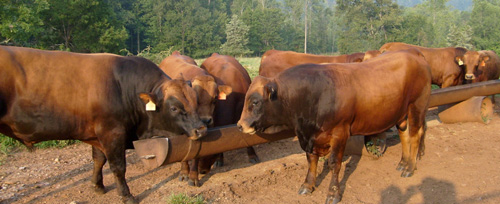 Tarentaise Cattle