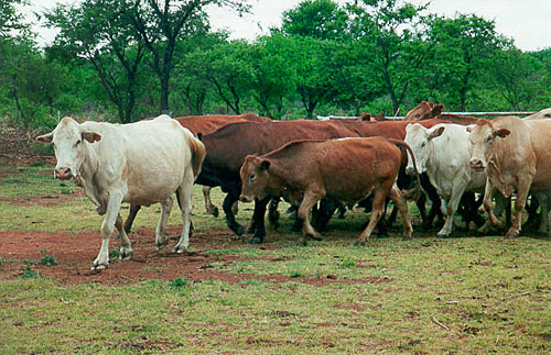 Tuli Cattle