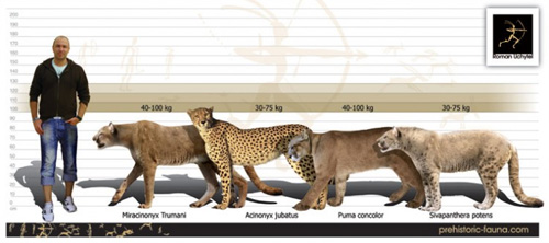 Size comparison of the American Cheetah (
