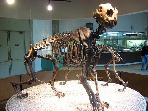 American Lion skeleton.