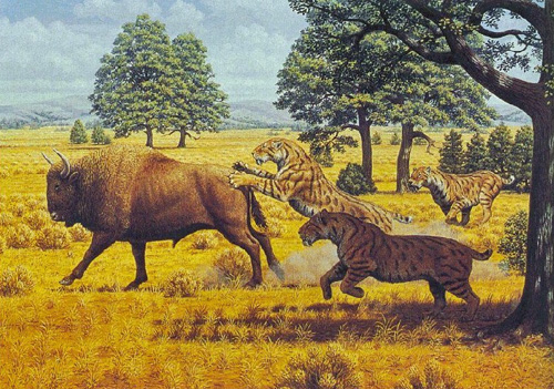 Another Bison/Smilodon encounter.