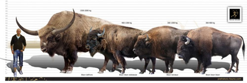 Size comparison of Bison latifrons (left), B. bison athabascae/Wood Bison of Canada (left middle).