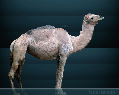 Reconstruction of the extinct North American Camel.