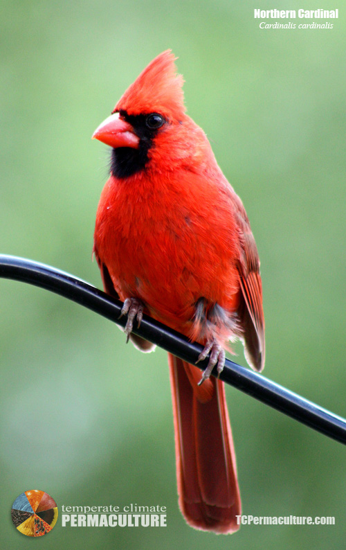 Northern Cardinal (Cardinalis cardinalis) Northern Cardinals are common on the farm year-round. Confirmed breeders on the farm.