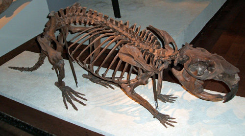 Giant Beaver skeleton.