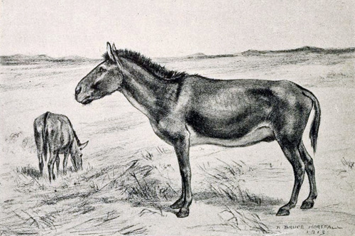 "Artist's rendition of a North American Horse species considered ""stilt-legged"" ."