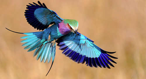 The Lilac-Breasted Roller... probably the most beautiful bird I have ever seen in real life.