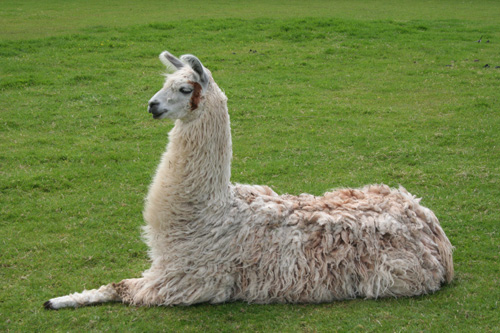 The Llamas of today are the same that once roamed North America.