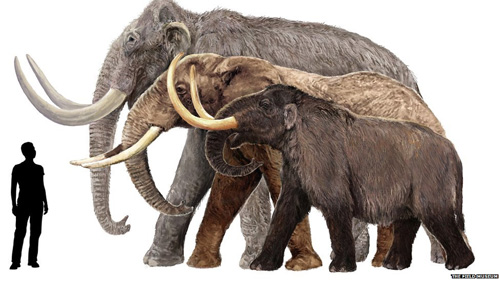 Size comparison of the Columbian Mammoth (left), African Elephant (middle), and Mastadon (right).